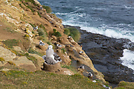 A nesting colony of Black Browed Albatross on Saunders Island, Falkland Islands