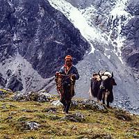 Sherpa and yak in the Khumbu region, Nepal 1980.