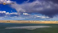 Panoramic of Snow Geese in pond during spring migration at Freezeout Lake WMA near Choteau, Montana, USA
