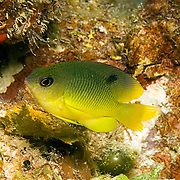Cocoa Damselfish inhabit reefs, especially fore reefs with living coral, in Tropical West Atlantic; picture taken Utila, Honduras.