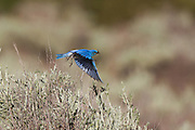 Stock photo of mountain bluebird captured in Wyoming.  These birds breed in Alaska. Farther north than any North American Bluebird.