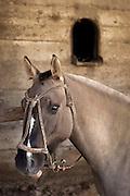 Horse in paddock, Estancia Huechahue, Patagonia, Argentina, South America