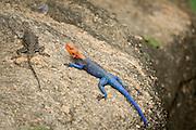 red-headed rock agama (or common agama, rainbow agama) (Agama agama) Basking in the sun Photographed in Tanzania