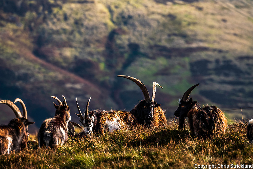 Hindhope, Jedburgh, Scottish Borders, UK. 18th October 2018. A herd of Feral Goats gather on Brownhart Law (508m) at the Anglo Scottish Border in the Cheviot Hills. The goat herds in the region are believed to be the purest descendants from the neolithic era which came to Britain from the Middle East.