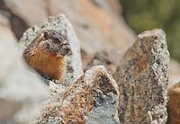 Yellow-bellied marmot, Marmota flaviventris. Near Silver Lake, Sierra Nevada, California