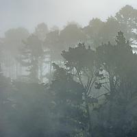 Fog drifts through pine trees near Montara, California