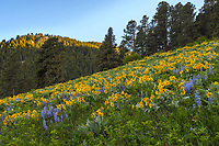 The hills were blooming with sawtooth sunflowers and lupine in late May along the Penrose Trail above Story.