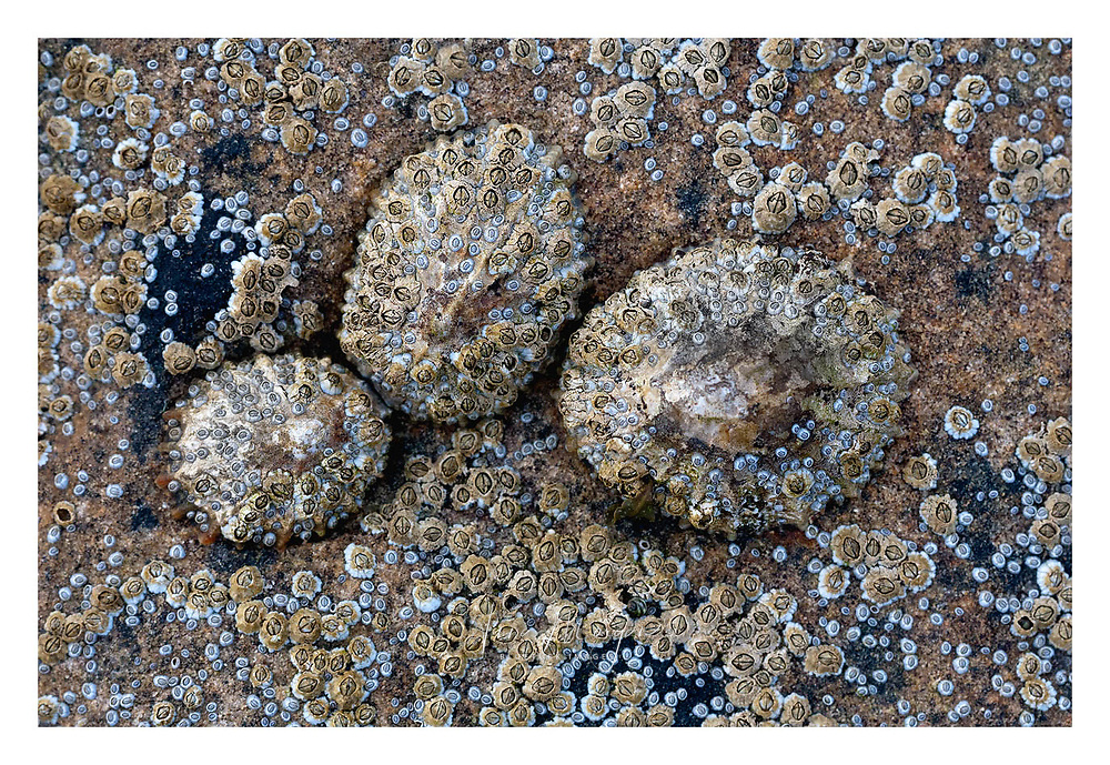 detail of three limpets in rocks covered in barnacles, northumberland, england