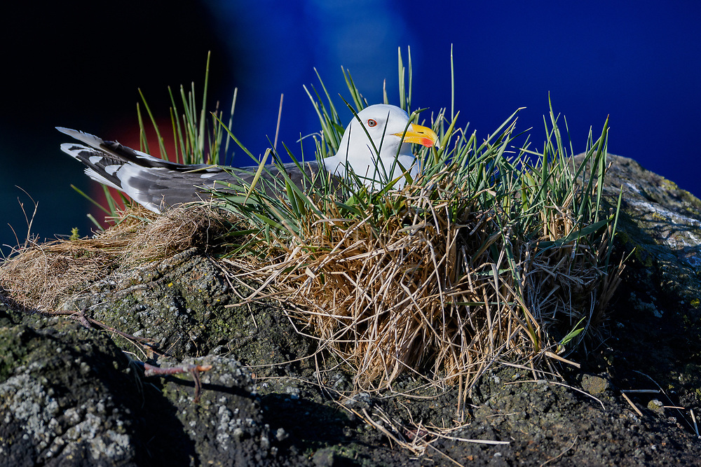 Great Black-backed Gull (Larus marinus) nesting. Photo from Hidra, south-western Norway in early May.