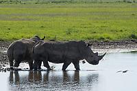 Two Southern White Rhinoceroses, Ceratotherium simum simum, walk through a small pond in Lake Nakuru National Park, Kenya