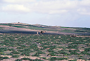 Man ploughing land with a camel subsistence agriculture, Lanzarote, Canary Islands, Spain 1979
