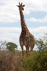 Giraffe (Giraffa camelopardalis) standing in the forest, Kruger National Park, South Africa