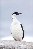 Antarctic Cormorant on the Antarctic Peninsula.
