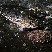 This is a male Radulinopsis taranetzi sculpin attending to a clutch of eggs, which are attached to a rock. The fish extends his mouth and sucks on the eggs to keep them clean and aerated.