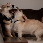 Dogs Playing at Home while their human stays home during spring 2020 coronavirus outbreak in North America.