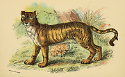 Lion-Tiger Felis leo (hybrid) From the book ' A handbook to the carnivora : part 1 : cats, civets, and mongooses ' by Richard Lydekker, 1849-1915 Published in 1896 in London by E. Lloyd