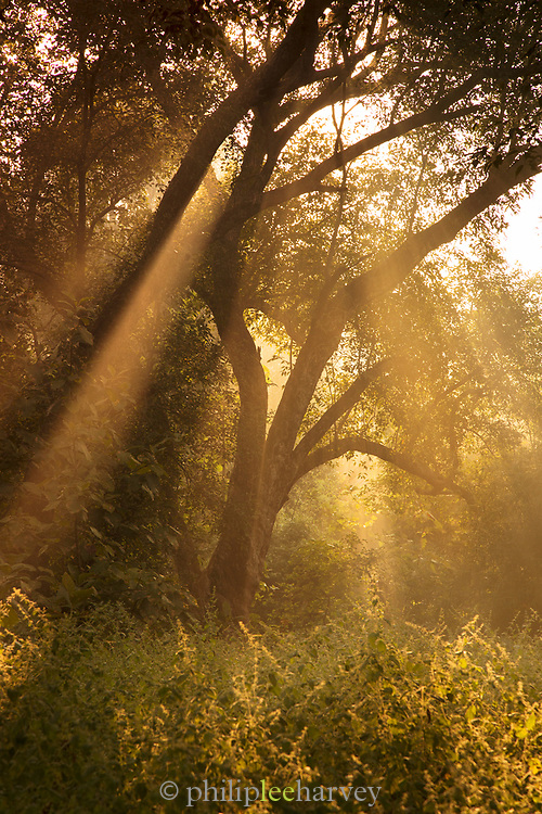 Low angle view of early morning sunlight, Tadoba National Park, India