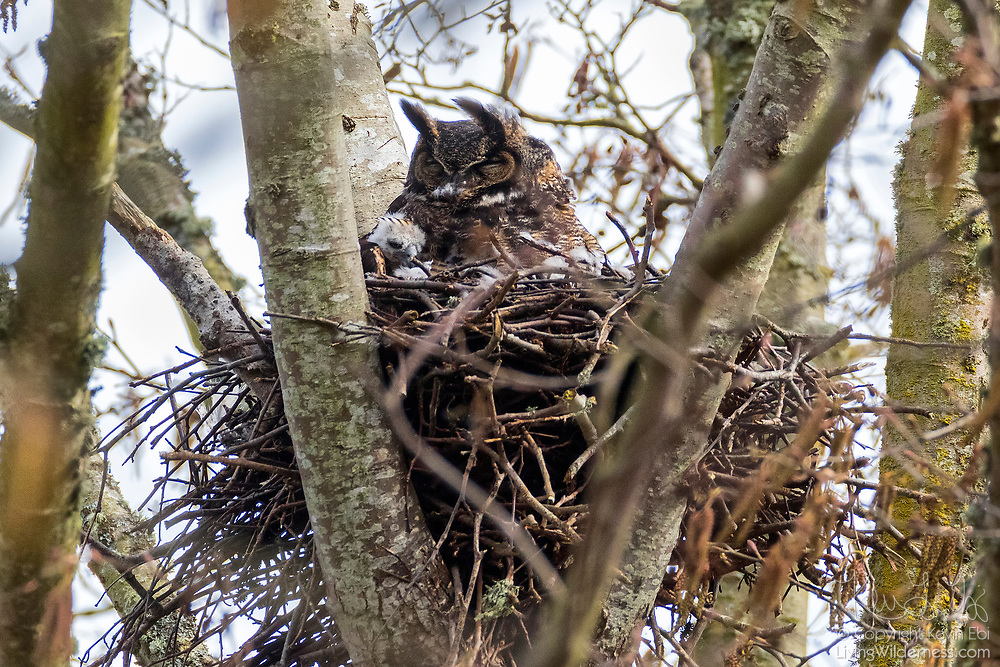 An owlet of a great horned owl (Bubo virginianus) snuggles up to its mother on their nest near Wiley Slough in the Skagit Wildlife Area near Mount Vernon, Washington.