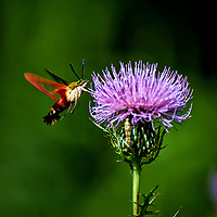 Hummingbird Clearwing moth (Hemaris thysbe) feeding on a Thistle flower.. Image taken with a Nikon D4 camera and 70-300 mm VR lens (ISO 200, 300 mm, f/5.6, 1/1000 sec)