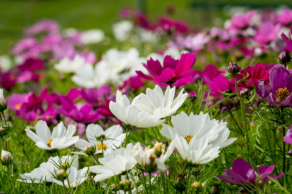 A white coreopsis in a flower bed at the Botanical Gardens in Milwaukee, Wisconsin. Photo by Adel B. Korkor.