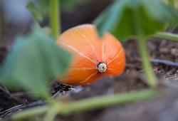 THEMENBILD - ein Kürbis auf einem Feld, aufgenommen am 12. August 2018, Kaprun, Österreich // a pumpkin on a field on 2018/08/12, Kaprun, Austria. EXPA Pictures © 2018, PhotoCredit: EXPA/ Stefanie Oberhauser