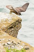 Peregrine juvenile (Falco peregrinus) launching from coastal clifftop. Dorset, UK.