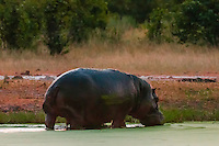 A hippo walking out of the water, Kwando Concession, Linyanti Marshes, Botswana.