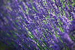 Lavandula angustifolia 'Hidcote' AGM. English Lavender