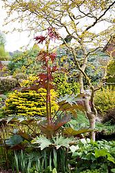 Rheum palmatum growing in a border at John Massey's garden.