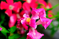 AeroGarden Farm 01-Right. Snapdragon. Image taken with a Fuji X-T3 camera and 80 mm f/2.8 macro lens (ISO 160, 80 mm, f/5.6, 1/125 sec).