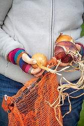 Checking onions that have been stored in net bags. Pressing with a thumb to check they're still firm.