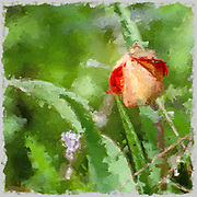 Digitally enhanced image of a wild mountain tulip (Tulipa agenensis) flower bud
