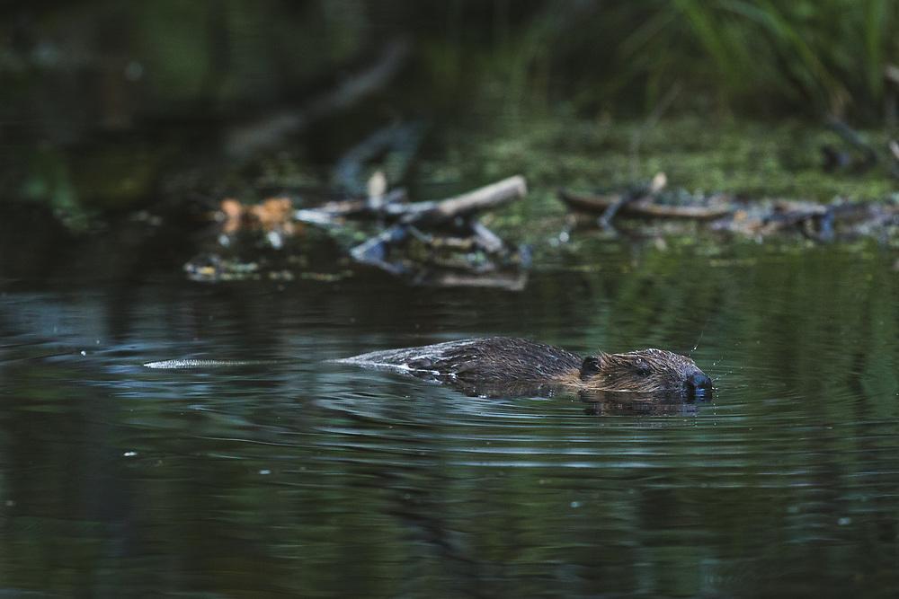 Beaver (Castor fiber) swimming in its pond next to its house at late evening, Vidzeme, Latvia Ⓒ Davis Ulands   davisulands.com