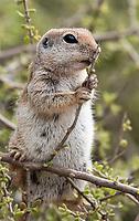 Round-tailed Ground Squirrel, Xerospermophilus tereticaudus, feeds on leaves at the Desert Botanical Garden, Phoenix, Arizona