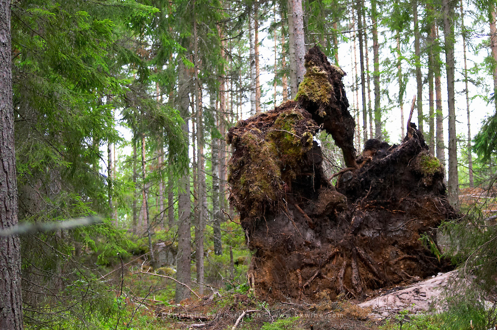 Pine tree roots from a tree in a forest felled by strong storm winds. Smaland region. Sweden, Europe.