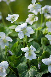 Viola sororia 'Speckles'