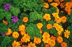 Tagetes patula 'Disco Orange' (marigold ) with Parsley 'Bravour' and Verbena. Petroselinum crispum
