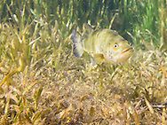 Largemouth Bass (male) guarding fry<br />