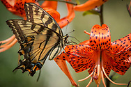 A tiger swallowtail butterfly perched on a tiger lily