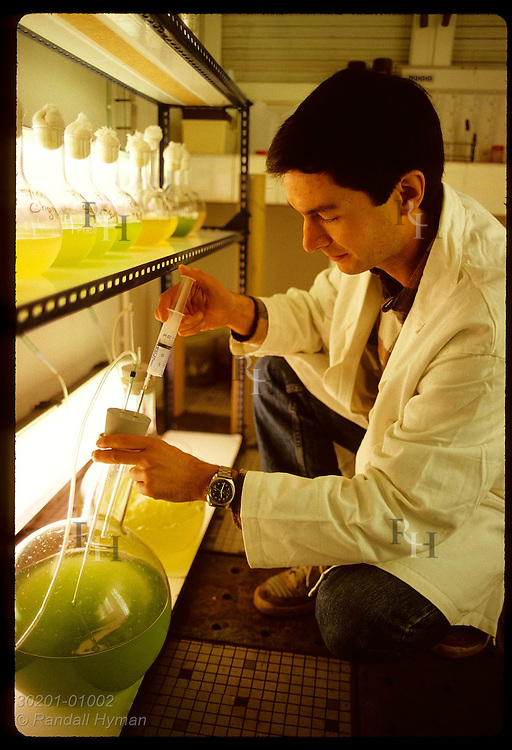 IFREMER biologist Claude Le Bec injects nutrients into flasks of algae used to feed oysters. France