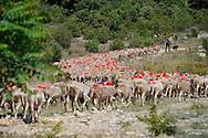 Elevage de moutons. Troupeau transhumant vers l'Aigoual.