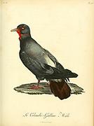 Colombi-galline from the Book Histoire naturelle des oiseaux d'Afrique [Natural History of birds of Africa] Volume 6, by Le Vaillant, Francois, 1753-1824; Publish in Paris by Chez J.J. Fuchs, libraire 1808