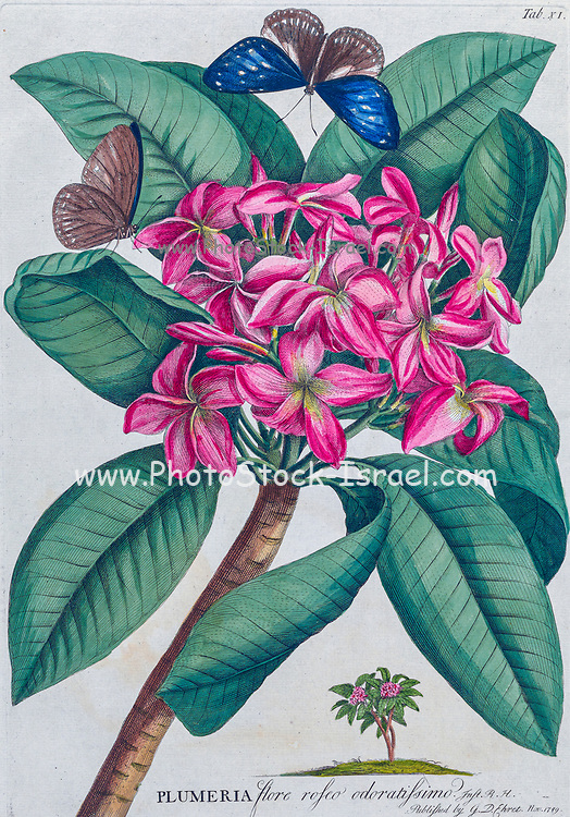 Plumeria Engraving, hand-colored print of plants and butterflies from Plantae et papiliones rariores (rare plants and butterflies) by Ehret, Georg Dionysius, 1708-1770 Published in London in 1748
