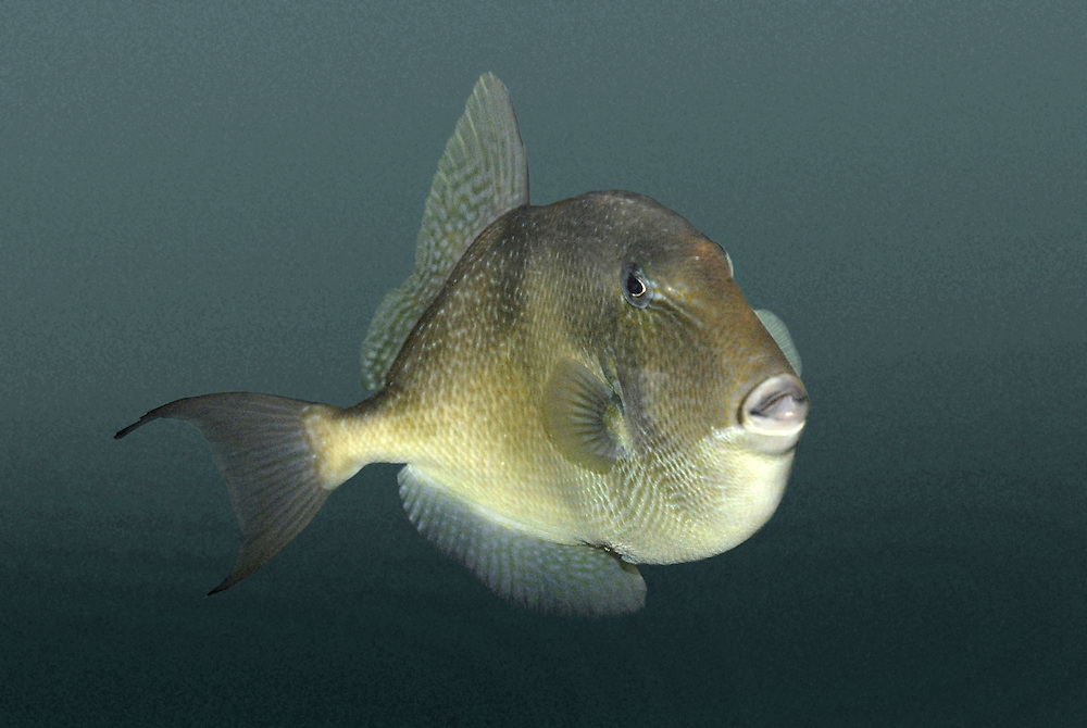 Grey Trigger-fish Ballistes capriscus Lenght to 60cm<br /> Bizarre fish with the look of a tropical species about it. Found on rocky coasts, sometimes around harbour walls. ADULT is oval in outline with relatively small eyes and mouth set far apart. Overall colour buffish brown; dorsal, anal and tail fins are marbled with blue. STATUS Locally common in S and SW; occasional elsewhere.