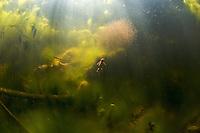 Alpine newt (Triturus alpestris)<br /> In spring, in small pool, gravel pit, Fribourg, Switzerland<br /> Bergmolch (Triturus alpestris)<br /> Im Frühling, in Dekantierbecken einer aufgegebenen Kiesgrube, Freiburg, Schweiz<br /> Triton alpestre (Triturus alpestris)<br /> En printemps, dans étang d'une gravière abandonée, Fribourg, Suisse<br /> 01-06-2009