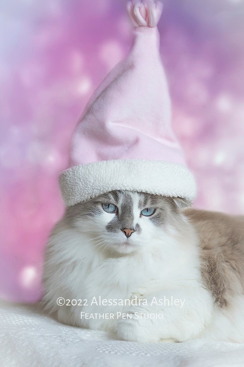 Long haired, blue eyed cat dressed in tall pink Santa Claus hat.
