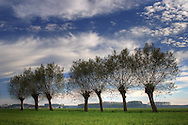A line of willow trees in the country side nearby the small town of Scalenghe in Piedmont, Italy, under some beautiful cloudy sky.