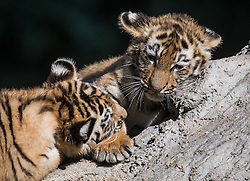 September 6, 2016 - Duisburg, North Rhine-Westphalia, Germany - The two ten-week-old Siberian tiger cubs 'Makar' and 'Arila' play in the zoo in Duisburg,Germany, 06 September 2016. The names for both tigers are the result of a naming competition carried about by the zoo in the past weeks. Photo:BERNDTHISSEN/dpa (Credit Image: © Bernd Thissen/DPA via ZUMA Press)