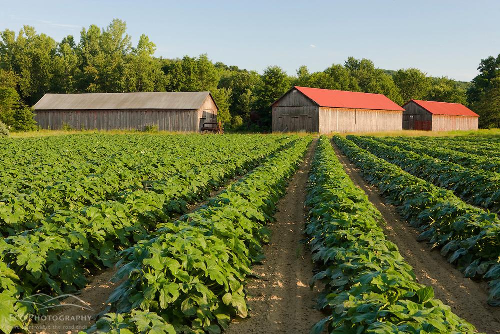 Tobacco barns in a vegetable field in a farm in Hadley, Massachusetts.