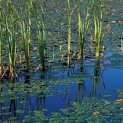 Acadia N.P., ME. Fragrant WaterLily, Nymphaea odorata. Broad leaved cattail, Typha latifolia.